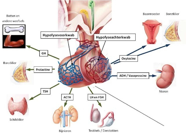 alle botten aders en organen